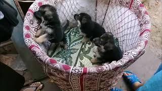 Как мы забирали щенка овчарку Арчи у заводчика (1 месяц и 6 дней)