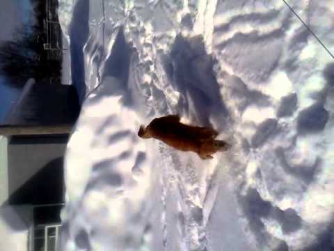 Ginger playing in the snow!