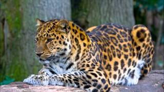 Видео Брачных Игр Амурского Леопарда Показано Впервые