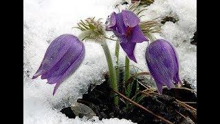 видео Подборка низкорослых многолетних и однолетних цветов для клумбы с названиями и фото