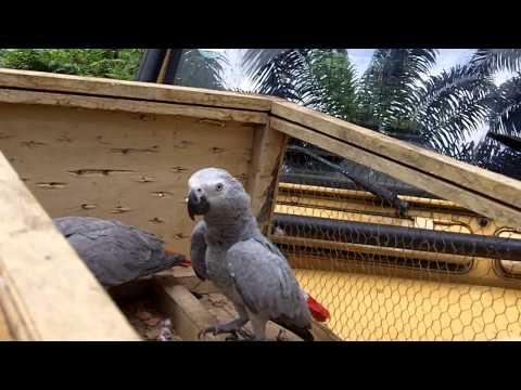 African Grey Parrot Release