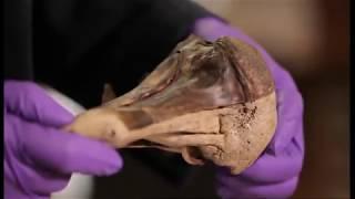 Who killed the Oxford Dodo? (OR Waking the Dodo OR CSI:Dodo)