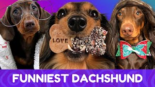 Try Not To Laugh! Funniest Dachshund Moments of 2020 #7