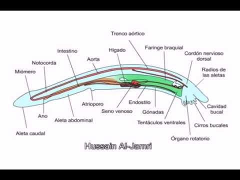 التركيب الداخلي للسهيم Amphioxus - YouTube - YouTube