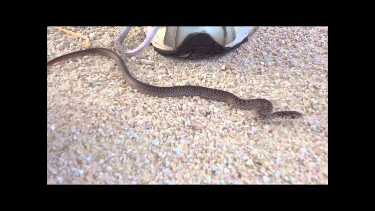 Angry Baby Black Racer