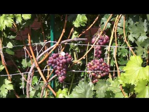Сорт винограда Марадона (август)