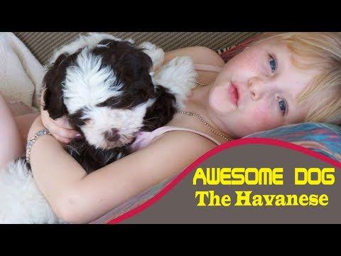 Havanese dog - the havanese dog - this breed of dog is amazing!