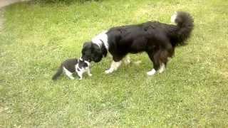 border collie Viva vs Cat