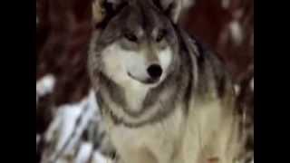 А Розенбаум волчья месть