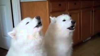 Собачий хор с днем рождения