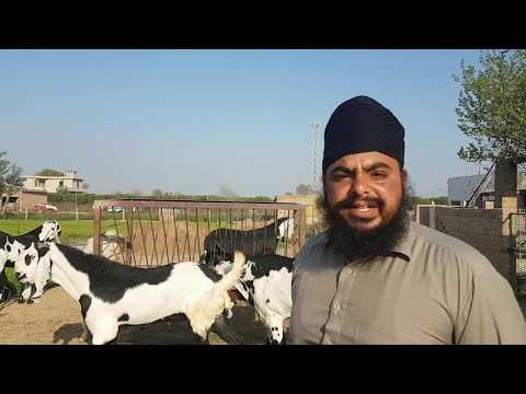 Exclusive Punjabi Goats In Ganganagar | Vishu Bhai Ke Bakre.