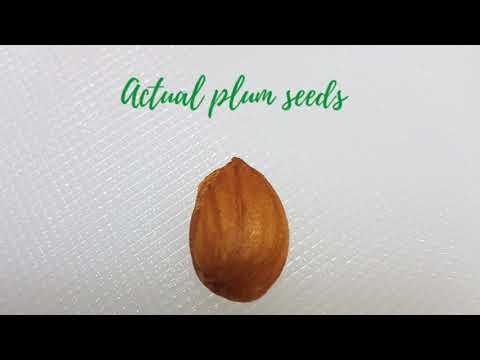 Growing PLUM Tree in the Philippines 🌳🌱💚 Vlog #1 [ Pagpapatubo ng PLUM TREE Mula sa Buto ]