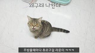 라운이 중성화 회복중 츄르구걸~ (고양이중성화,고양이치…