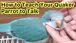 How To Teach Your Quaker Parrot To Talk | Talking Parrot 🦜