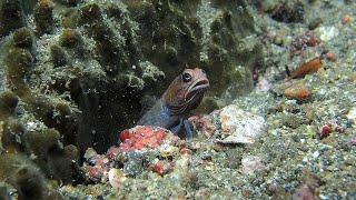 魚のイクメン代表っす!穴を掘りまくるアゴアマダイの仲間をご覧ください