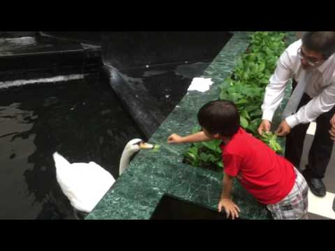 Feeding Swans in a hotel! Embassy Suites Houston