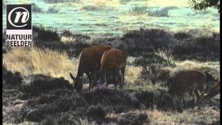 Roedel edelherten onder solitaire eiken op berijpt heideveld