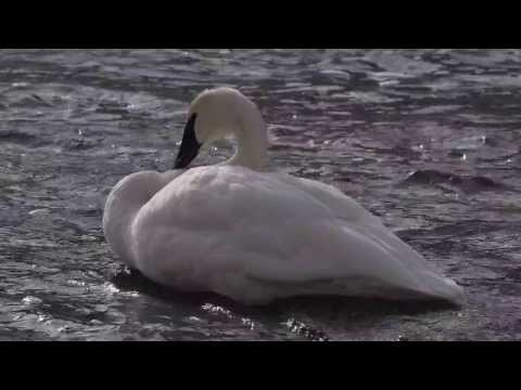 Trumpeter Swan, Yellowstone National Park, Winter