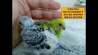yavru muhabbet kuşlarını besledim