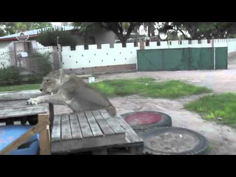 elsa the lioness that walked again part 2