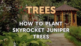 How to Plant Skyrocket Juniper Trees