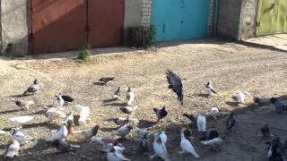 Ленинаканские бойные голуби