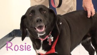 Rosie- Labrador Retriever/basset Hound Mix