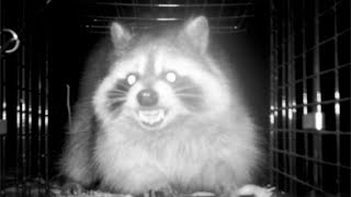 EVIL Raccoon ESCAPES from Trap! This is WAR!