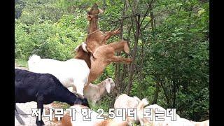 ★★★염소 두발로 선 키가 2미터50?!!★ 큰 염소 …