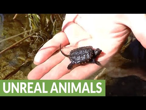 Tiny baby snapping turtle assisted on journey to safety