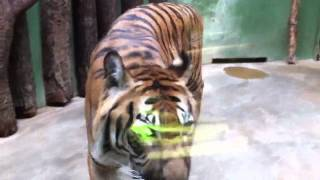Ogromny tygrys w praskim zoo