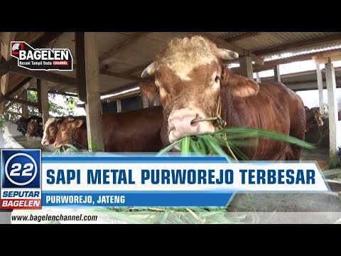 Sapi Raksasa Purworejo Terbesar Di Jawa Tengah Seberat 1,4 Ton
