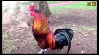 Ayam Dj remix