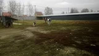 Смешная корова! Прикол на ферме!