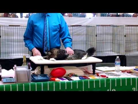 Siberian Kittens being judged Del Mar 2017