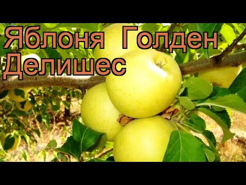 Яблоня гибридный Голден Делишес (malus) 🌿 обзор: как сажать, саженцы яблони Голден Делишес