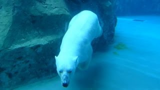 必見!旭山動物園 ホッキョクグマ(白クマ)の優雅な水中遊泳  2013-7-15