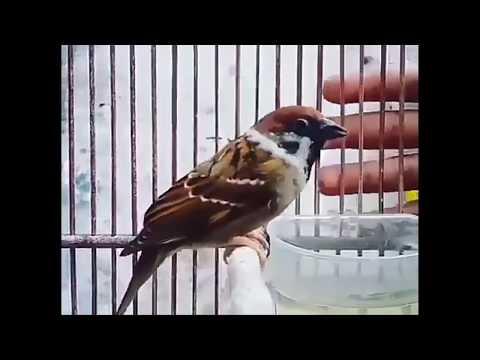Jangan Remehkan.. Kalau Sudah Bunyi Kelar Hidup Lo - Burung Gereja Gacor