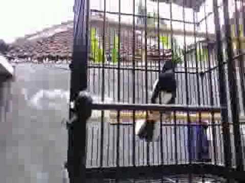 Kacer Sumatera VS Kacer Jawa