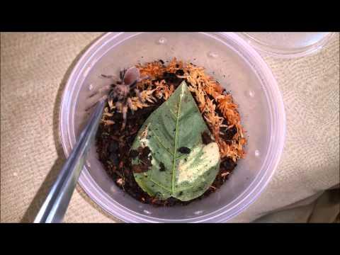 Tarantula Feeding Video 6 - Blondie Strikes!