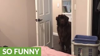 Giant Newfoundland has giant case of zoomies