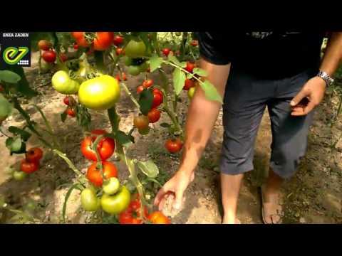 Опыт выращивания томата Белфорт F1 в Волгограде | индетерминантный | выращивания | технология | парадайз | теплице | помидор | махитос | высадка | белфорт | томата