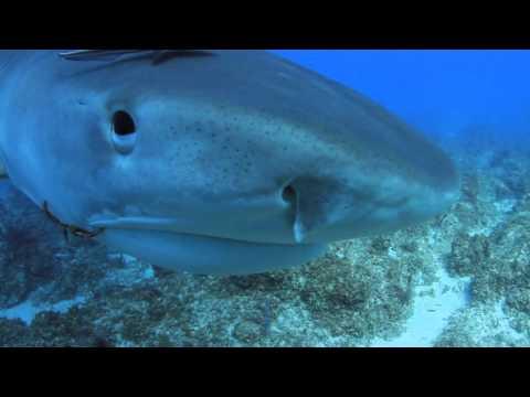 More tiger shark clips   Stuart Cove's
