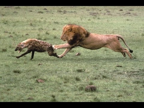 BBC News Animal World 2015 ,Bloody Action!  Super Special National Geographic! Lions Documentary HD