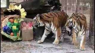 LIVE: Tiger Treat Feeding for Thanksgiving at Big Cat Rescue  | The Dodo