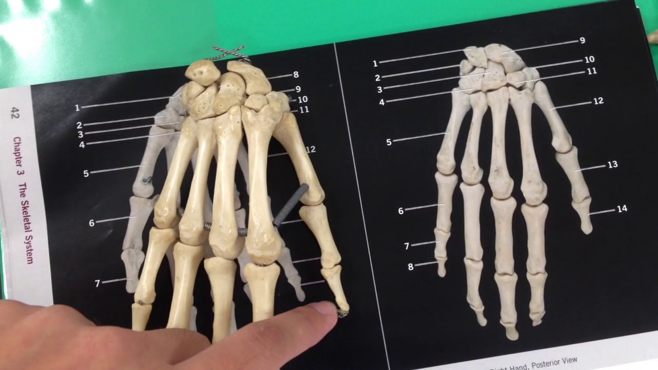 Anatomy Lab: Appendicular Skeleton - YouTube