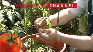 トマトの育て方 日常管理編