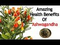 Benefits Of Powerful Herb Winter Cherry(Ashwagandha) | Cure For Several Health Disorders