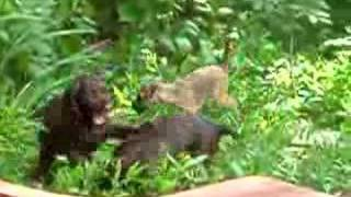 Field Spaniel And Border Terrier Pups Playing