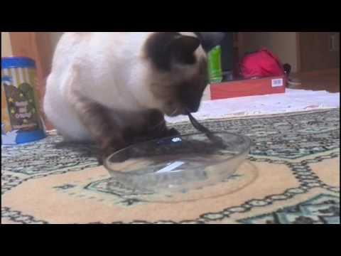 Siamese Cat poor drinking.